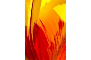Tulip Abstract II Poster Print by JoAnn Arduini (10 x 14)