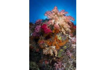 Soft coral in Raja Ampat, Indonesia.