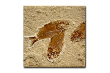 Fossil Image Art Tile Coaster 3 Fish Fossils