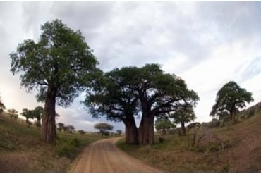 Baobab Trees (Adansonia digitata) in a forest, Tarangire National