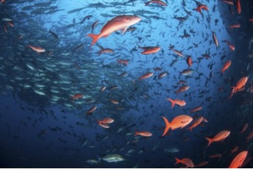 Schooling fish swim near Cocos Island, Costa Rica.