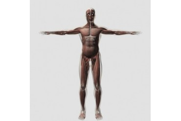 Anatomy of male muscular system, front view.