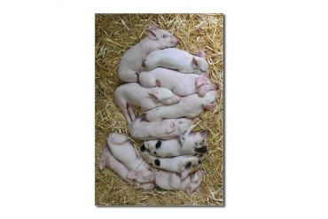 Livestock of piglets having nap on hay. - Postcard Animal Postcards Package of 8 by CafePress