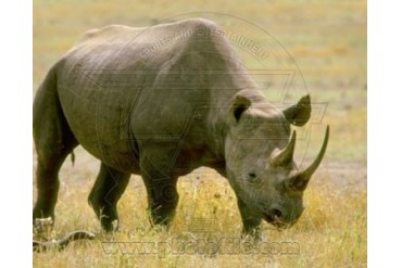 Rhinoceros Sports Photo (10 x 8)