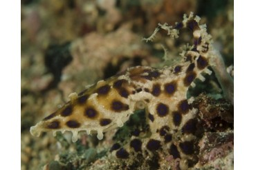 Blue-ringed octopus, Lembeh Strait, Indonesia.