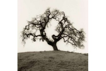 Hillside Oak Tree Poster Print by Alan Blaustein (24 x 24)