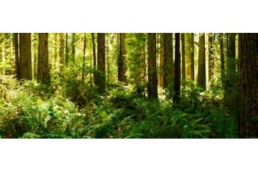 Ferns and Redwood trees in a forest, Redwood National Park,