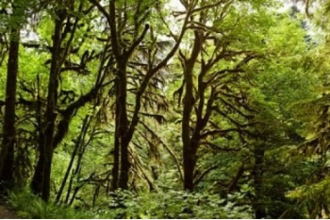 Trees in a forest, Quinault Rainforest, Olympic National Park, Olympic